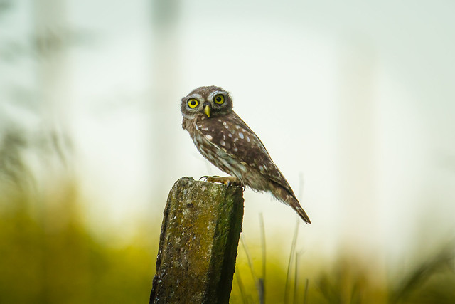 Little Owl. Civetta. (Athene Noctua).