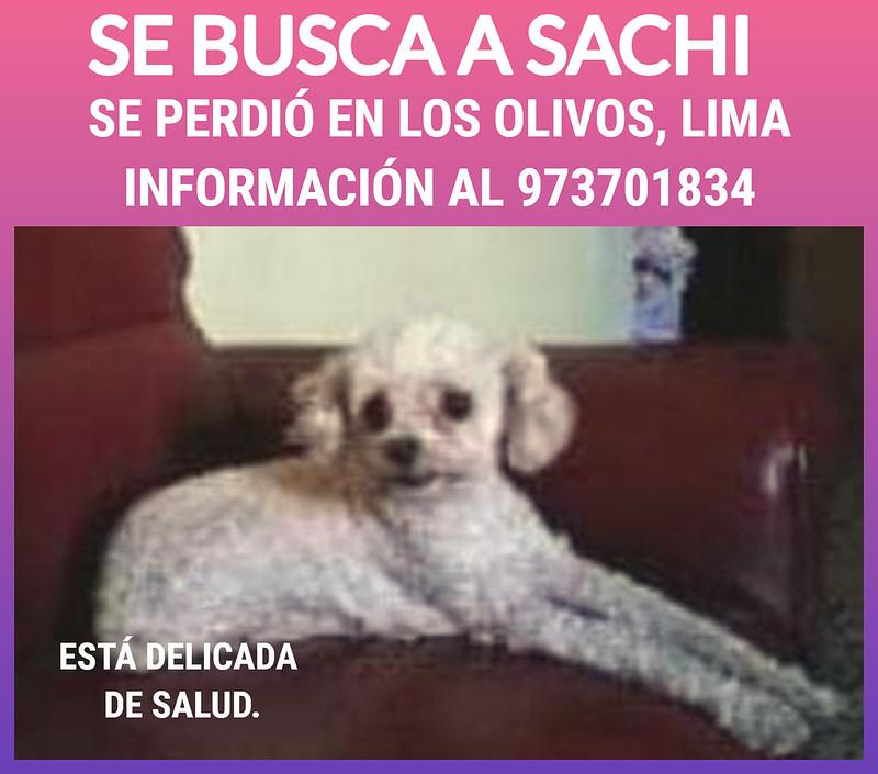 Se busca a Sachi. Se perdió en Los Olivos, Lima