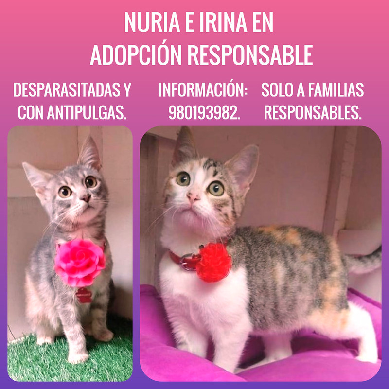 Gatitas Nuria e Irina en adopción responsable. Lima