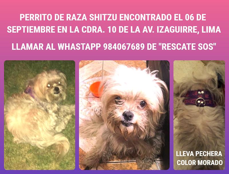 Perrito de raza Shitzú encontrado en Los Olivos, Lima