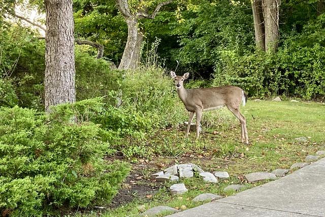 Deer In The Hood