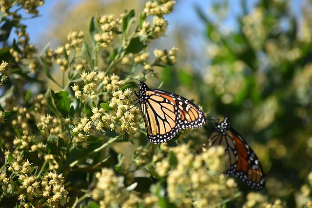 Mesmerized by Monarchs