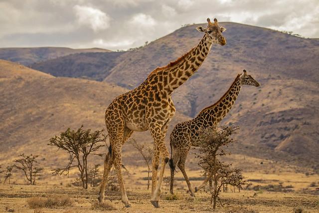 Fratelli alti / Tall brothers (Ngorongoro Conservation Area, Tanzania)