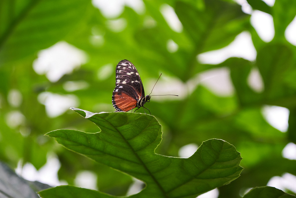 An orange-brown butterfly sitting on a leaf.