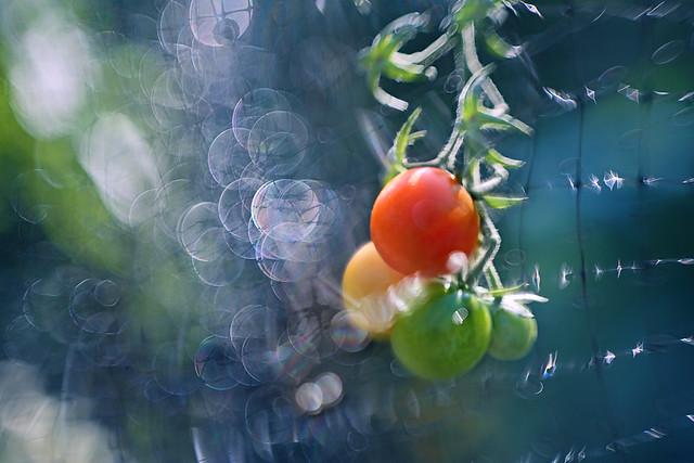 Bokehlicious Tomatoes