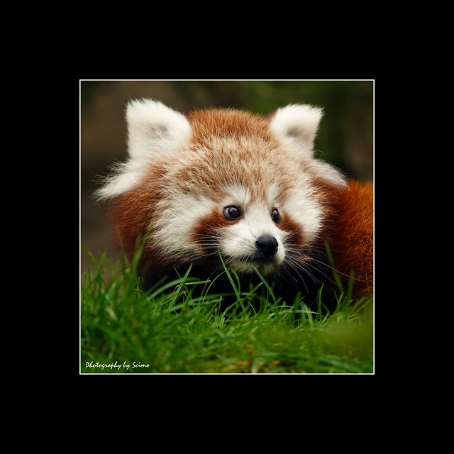 --- Little Red Panda ---