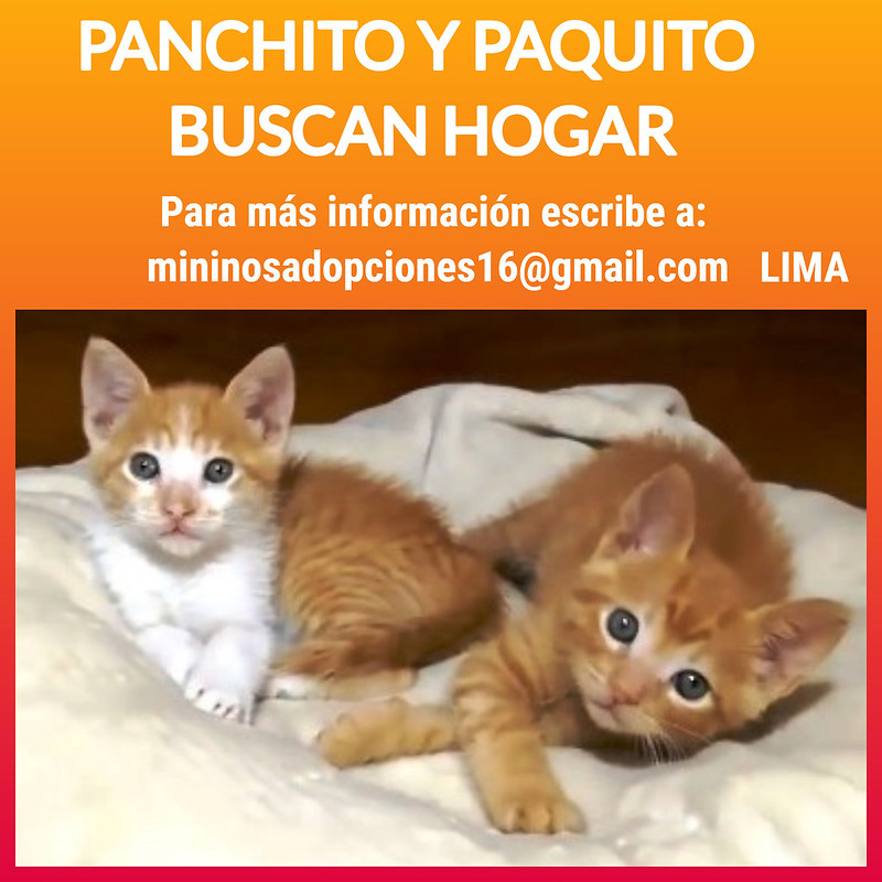 Dos hermosos gatitos cachorritos anaranjados buscan hogar, Lima
