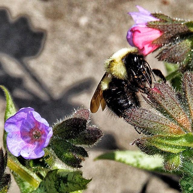 Toronto Ontario ~ Canada ~ Edwards Gardens ~ Botanical Garden ~ Bubble Bee