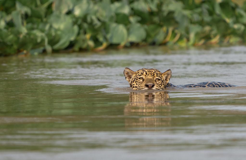 Wild Jaguar Swimming