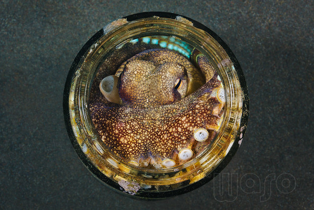 Cocnut Octopus (Amphioctopus marginatus) - sleeping in a jam jar in the lava sand bottom of the Lembeh Strait