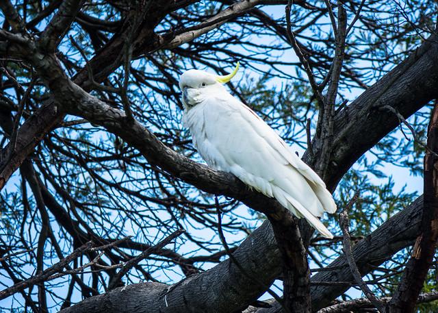 Sulphur-crested cockatoo (Cacatua galerita), Geilston Bay, Tasmania