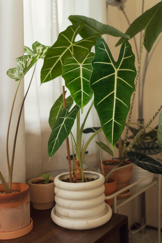 06-alocasia-frydek-houseplants-planttour