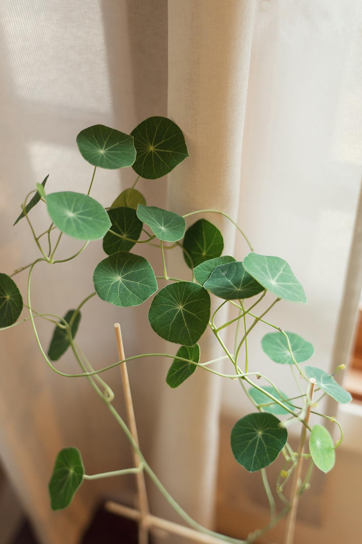 05-stephaniaerecta-houseplants-planttour