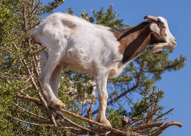 Argan Tree Goat 2 [Explored]