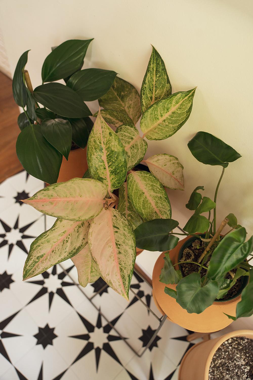 13-decursiva-sparklingsarah-burlemarx-houseplants-planttour