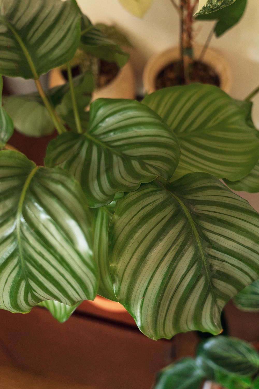 10-calathea-orbifolia-houseplants-planttour