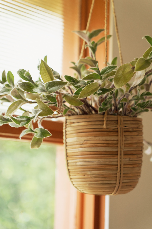 12-fuzzytradescantia-houseplants-planttour