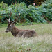Red Deer Stag at rest