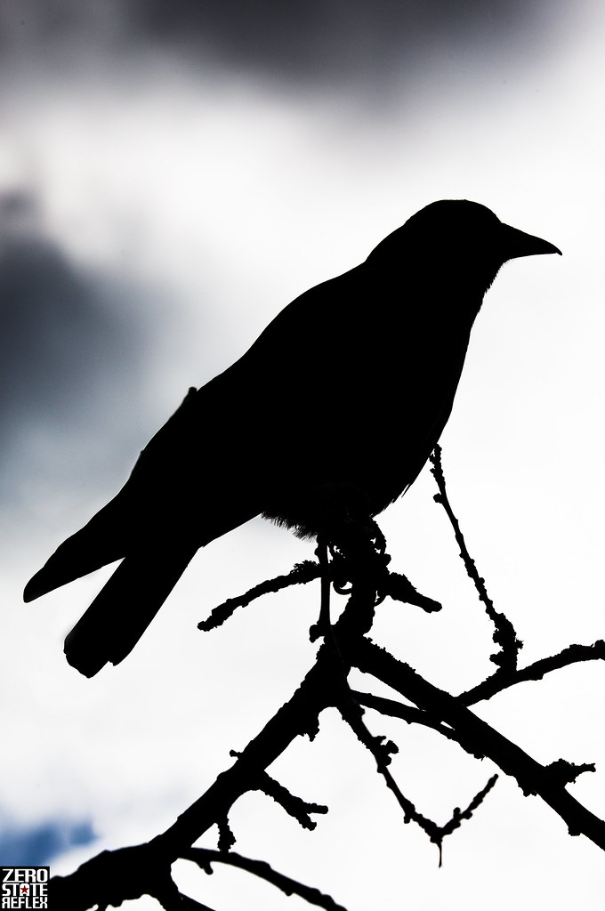 Seattle_Crow_1014