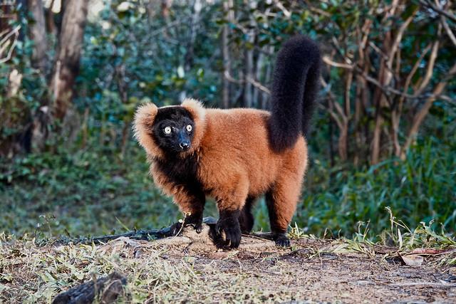 The Red Ruffed Lemur