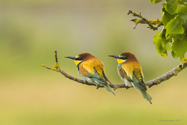 Abelharuco | European bee-eater | Merops apiaster