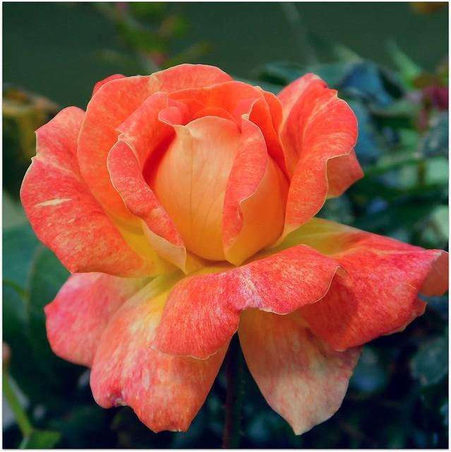 Róża.
