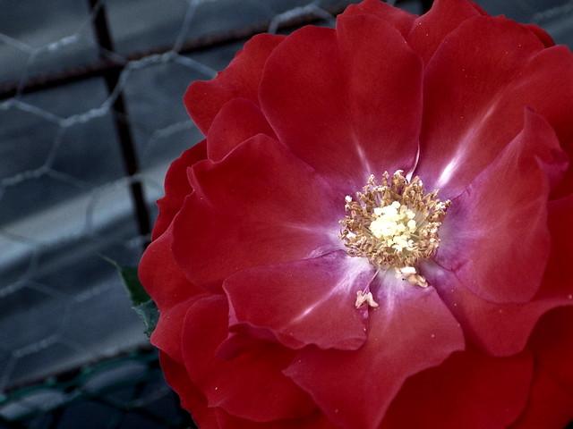 Rosa vermella (detall) / Red rose (detail)