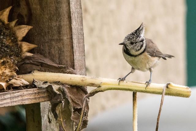 Oiseaux du jardin (Ariège)