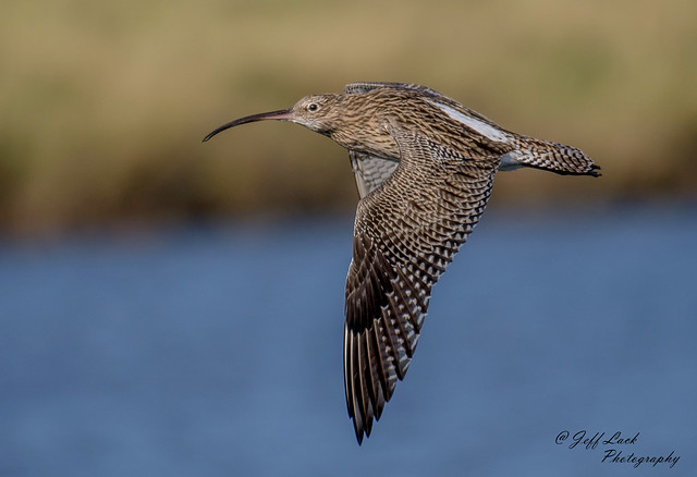 DSC7947  Curlew..
