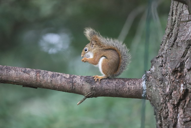 Backyard Red & Fox Squirrels (Ypsilanti, Michigan) - 278/2021 116/P365Year14 4864/P365all-time (October 5, 2021)