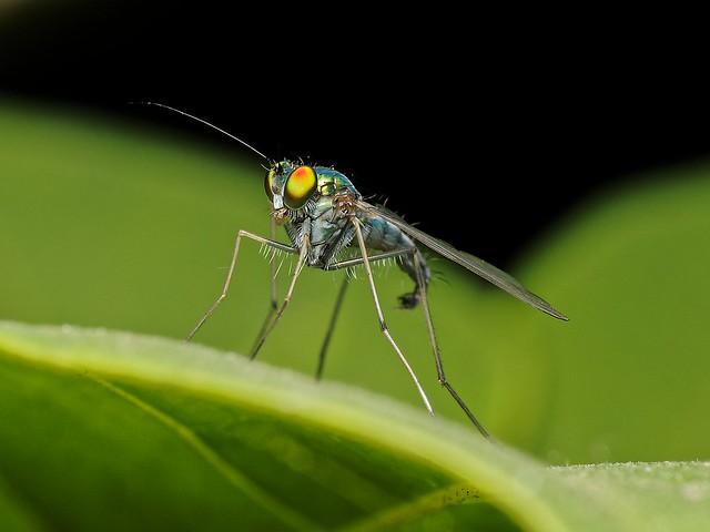 Long-legged Fly (Condylostylus spp.)