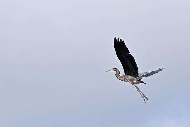 Departure of the Heron
