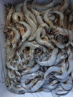 Photo of large group of shrimp in a net