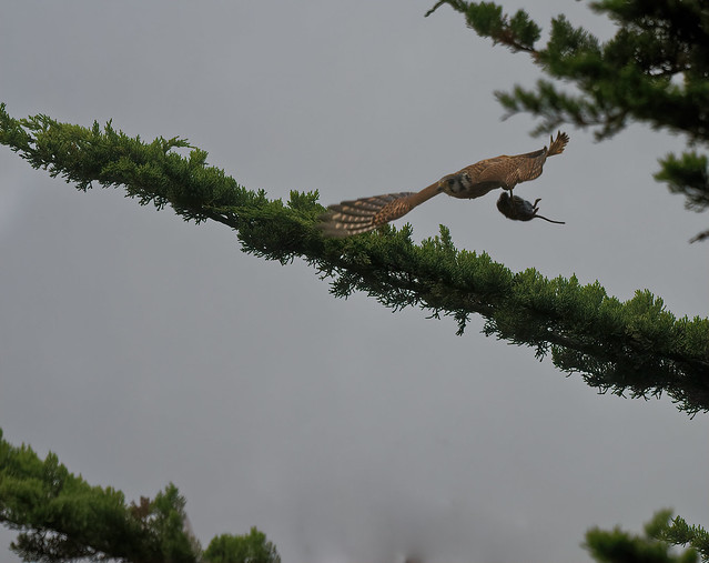 Kestrel catches a mouse on a tree