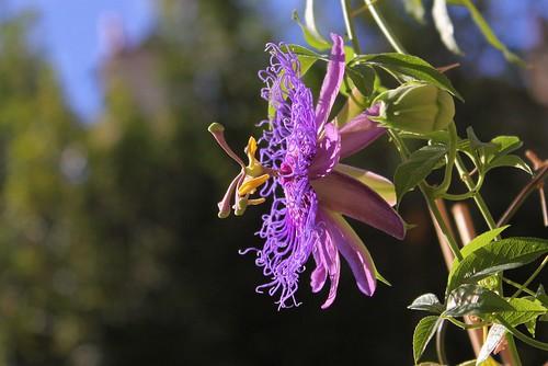 Passiflora ' Incense'  51556753222_d7d44598b4