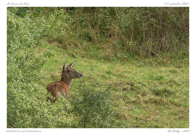 Le brame du Cerf [Cantal]
