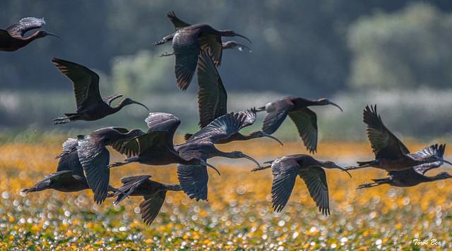 Batlák / Glossy ibis (Plegadis falcinellus)