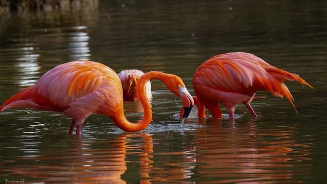 10227 - Flamingo