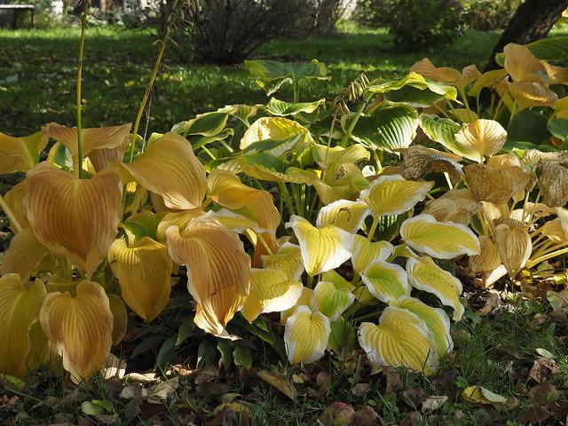 Autumn hostas