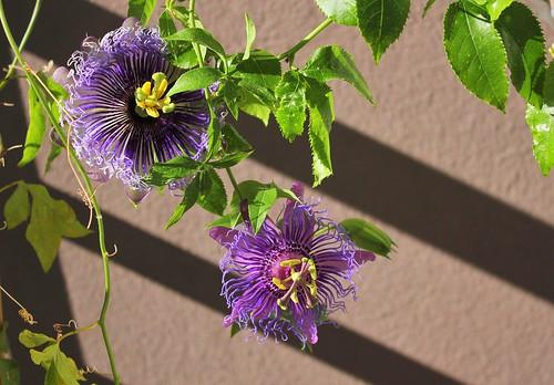Passiflora ' Incense'  51557788903_1b0b1969ff