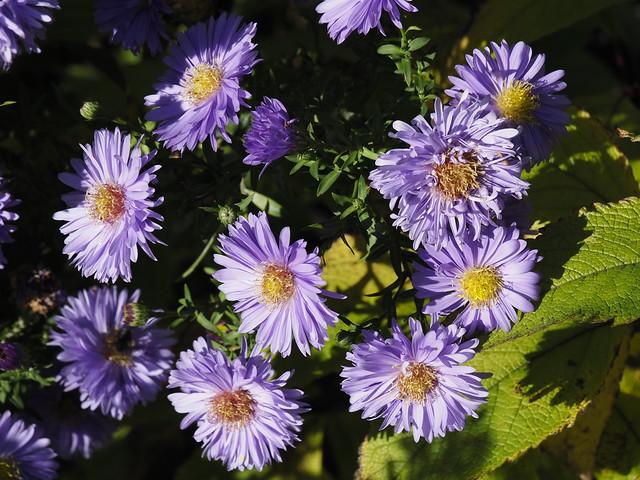Symphyotrichum novi-belgii 'Marie Ballard'