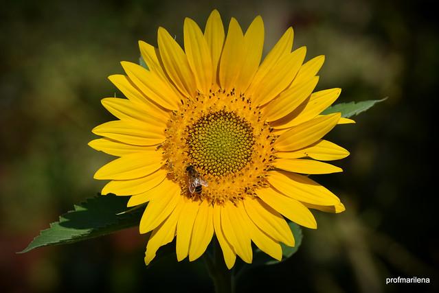 DSC_3792-001  busy bee on my sunflower