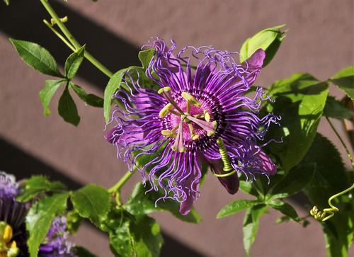 Passiflora ' Incense'  51558471955_ea718a3cac