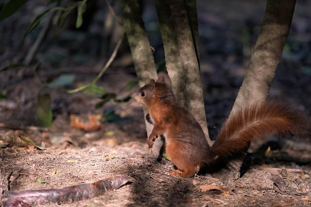 Ecureuil roux - Eurasian red squirrel