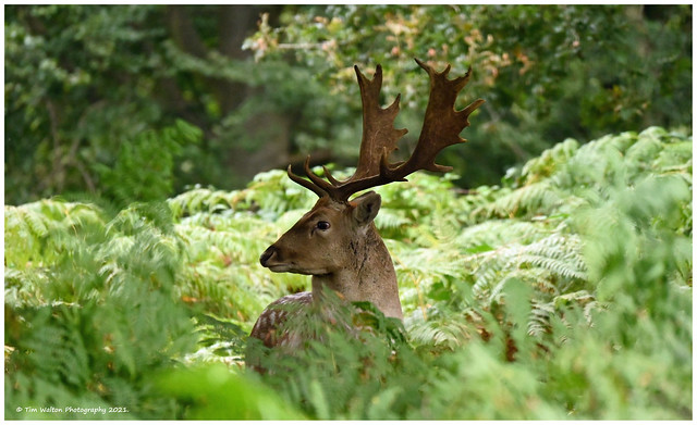 Fallow stag in ferns.