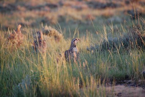 Sage-grouse in Thunder Basin.