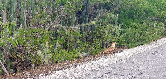 Curacao te Warawara Bird