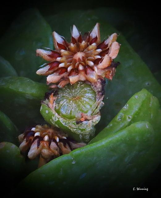 Glottiphyllum longum 4799