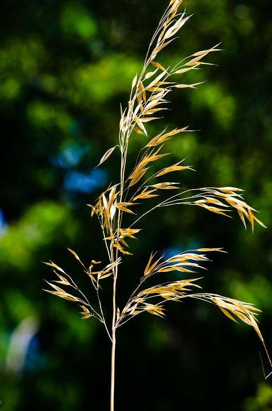 Ornamental grass, Castle Gardens, Bridgnorth