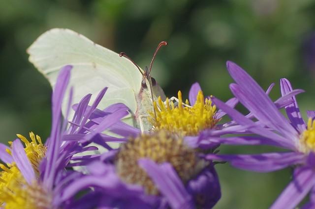 Female Brimstone Butterfly - Gonepteryx rhamni